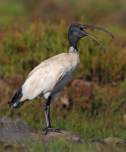 The Australian White Ibis - Threskirnis molluccus, is a wading bird. It is widespread across much of Australia.