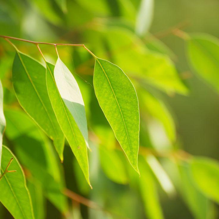Eukalyptus citrónový- semiačká- 5 ks