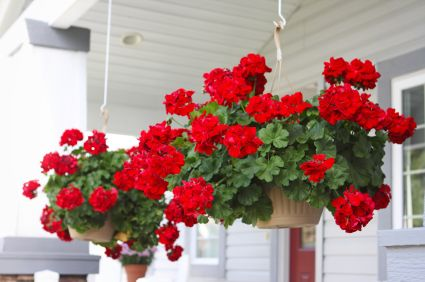 Geraniums are easy to grow and add a bright spot of color to porches and decks.