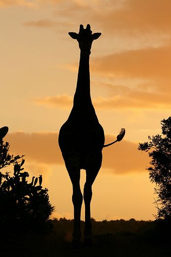 Giraffe Silouette - Taken late afternoon as this giraffe came into a river crossing. Love that swishing tail! <3