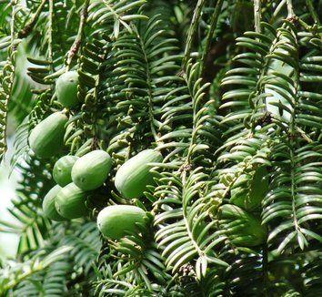 Torreya grandis 1 fruit