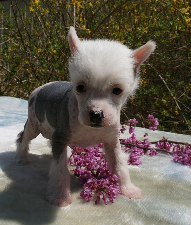 Chinese Crested Puppies For Sale Mystical Chinese