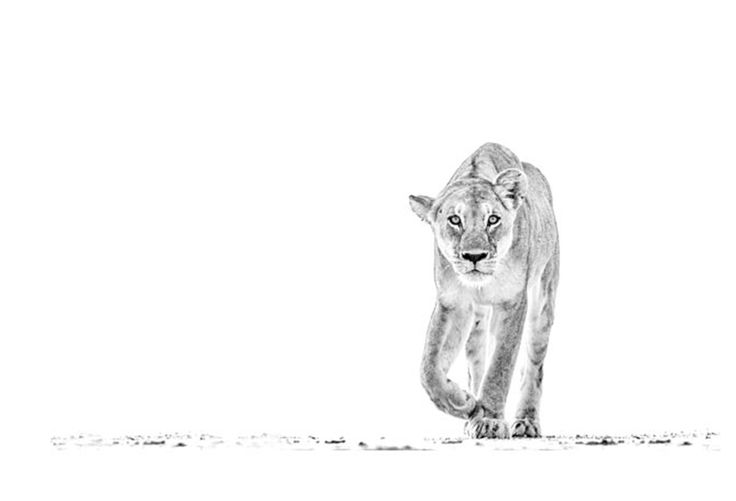 Lion stalking in a BW print by wildlife photographer Dave Hamman