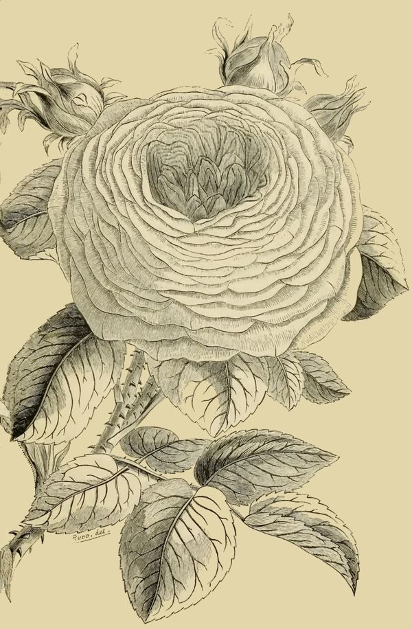 271 best Rose Art coloring pages images on Pinterest