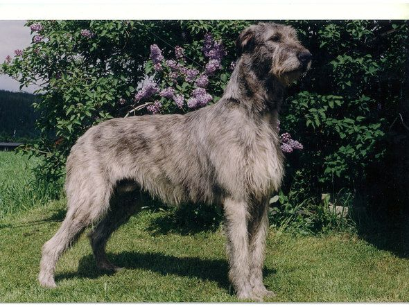 Bilde av Irsk ulvehund