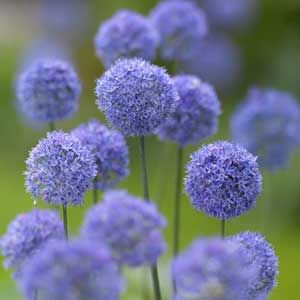 Allium caeruleum syn. Allium azureum 50cm petit ail d'ornement aux petites ombelles de fleurs bleu azur de fin mai à début juillet.