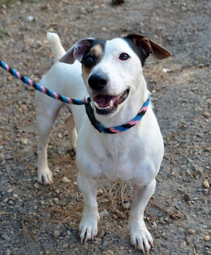 Meet Petey, an adoptable Jack Russell Terrier looking for a forever home. If you're looking for a new pet to adopt or want information on how to get involved with adoptable pets, Petfinder.com is a great resource.