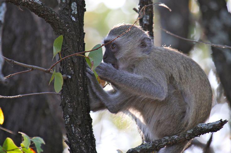 Vervet monkey up to no good