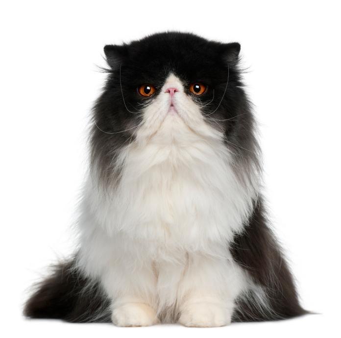 Show persian cat breeder
