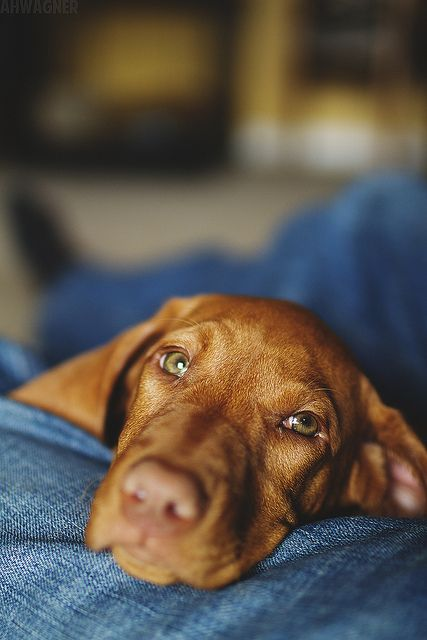 Hungarian Vizsla. Needs ample amount of cuddle time.