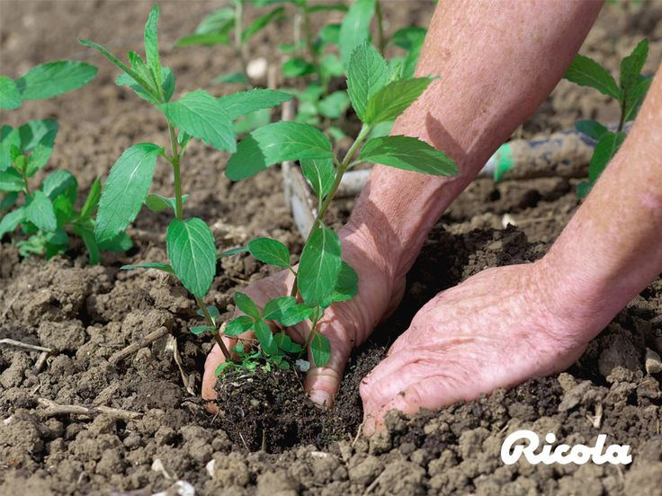 #Herbs #Planting #Ricola