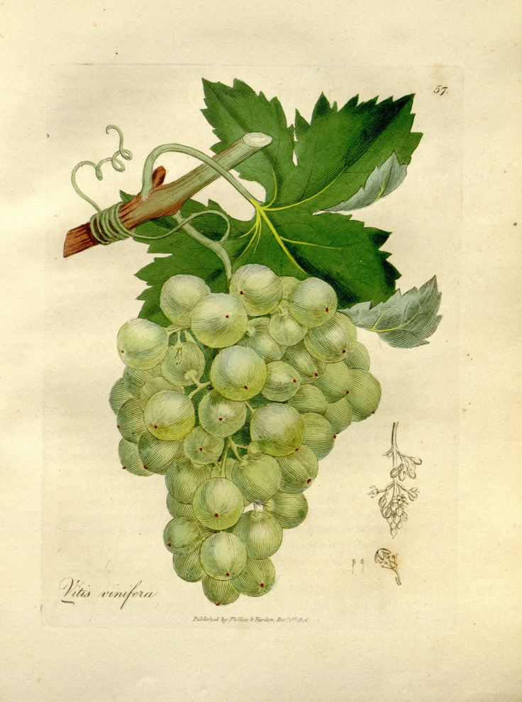 Les 25 meilleures id es de la cat gorie vitis vinifera sur pinterest arbre fruitier bonsa s - Comment se debarrasser des fourmis sur les arbres fruitiers ...