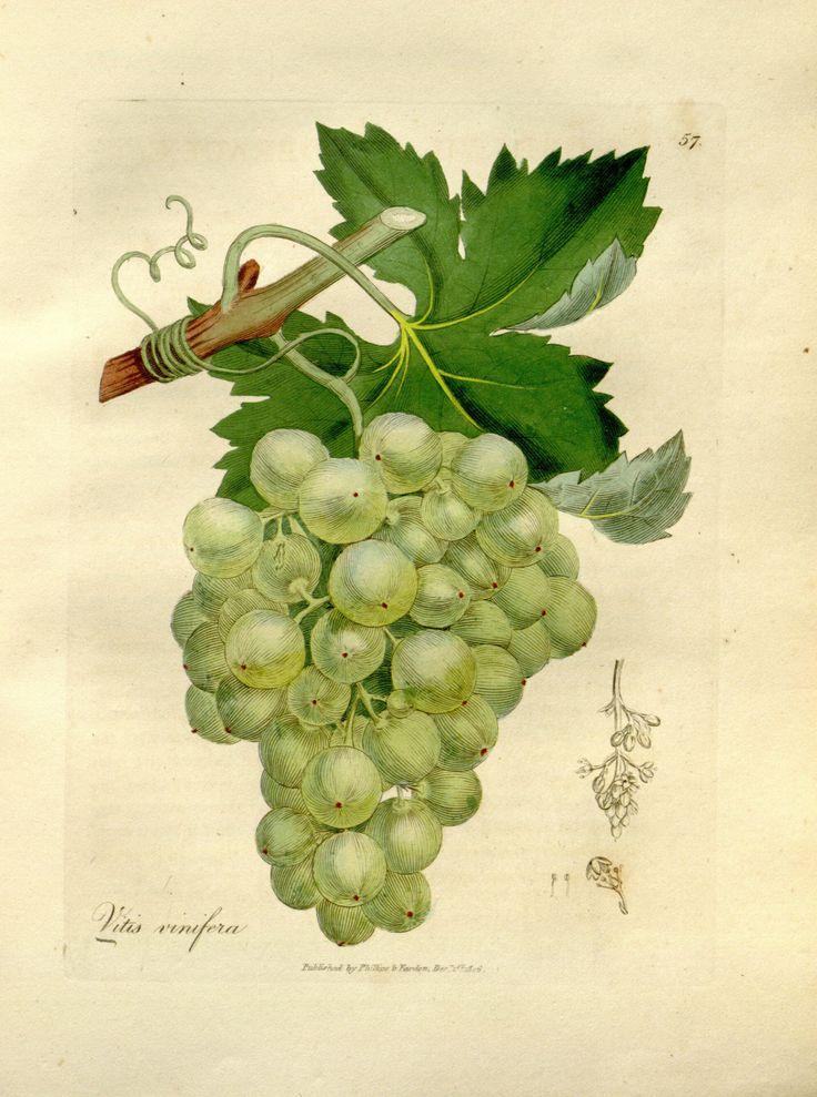 Grapes - Vitis vinifera - circa 1832