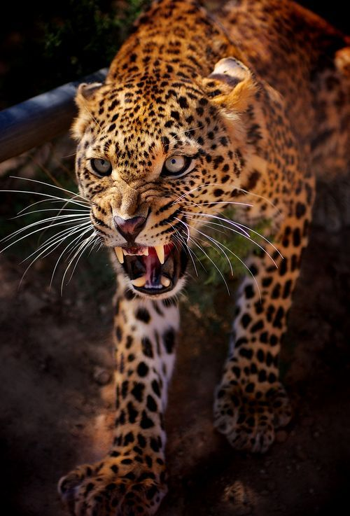 angry baby cheetah - photo #14