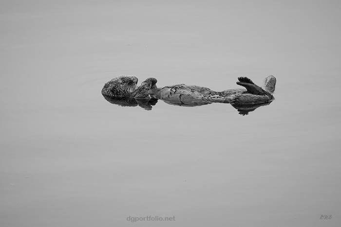 Sea Otter VI BW