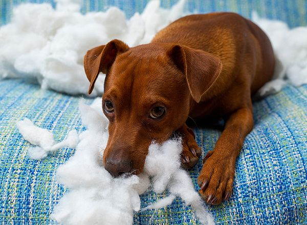 How to Control Dogs that Eat Everything AKA Pica