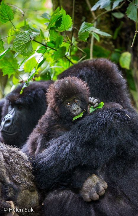 Read the full blog post about my gorilla trekking experience, including: photos, video, tips on how to prepare for the trek and why I chose to do it in Rwanda instead of Uganda.