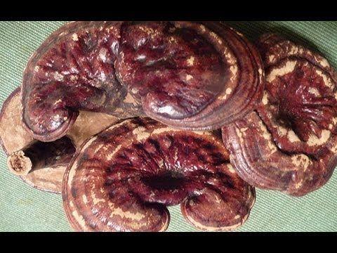 ▶ Reishi Mushroom Benefits as a Super Tonic - YouTube