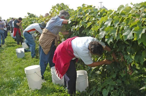 Vendanges: Autour des vins d'ici