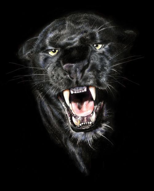 Do NOT mess with this beautiful black panther...seriously ...