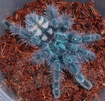 Antilles Pinktoe Tarantula for Sale  Scientific Name: Avicularia versicolor  Description: Captive Born - 0.75 inches