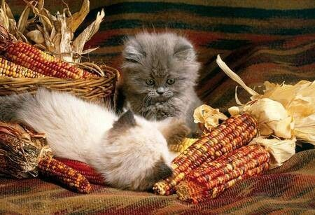 KittensHoliday, November, Kitty Cat, Autumn Kittens, Christmas, Fall Autumn, Thanksgiving, Families, Animal