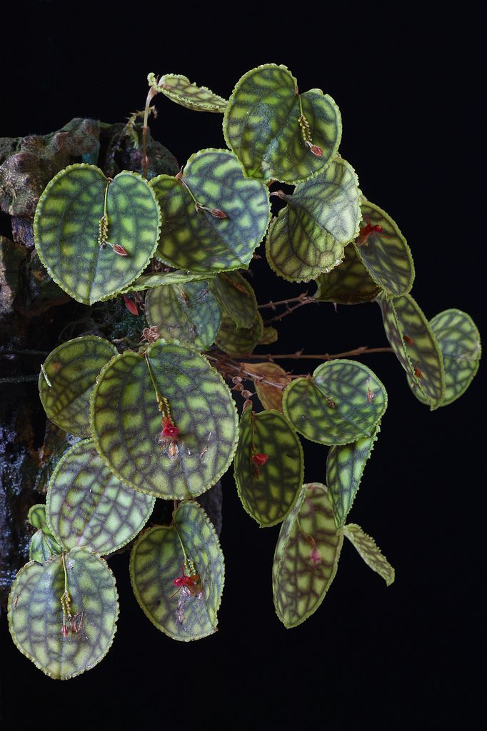 Miniature-orchid: Lepanthes calodictyon - Flickr - Photo Sharing!