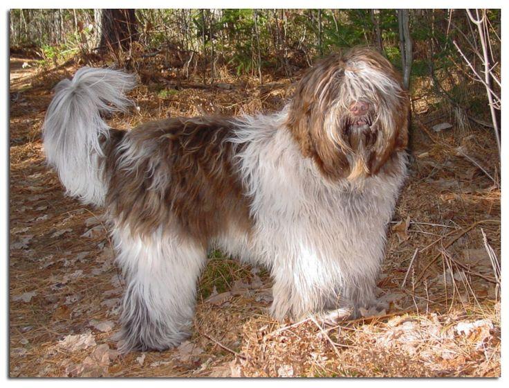 schapendoes dog photo | Schapendoes Chopin