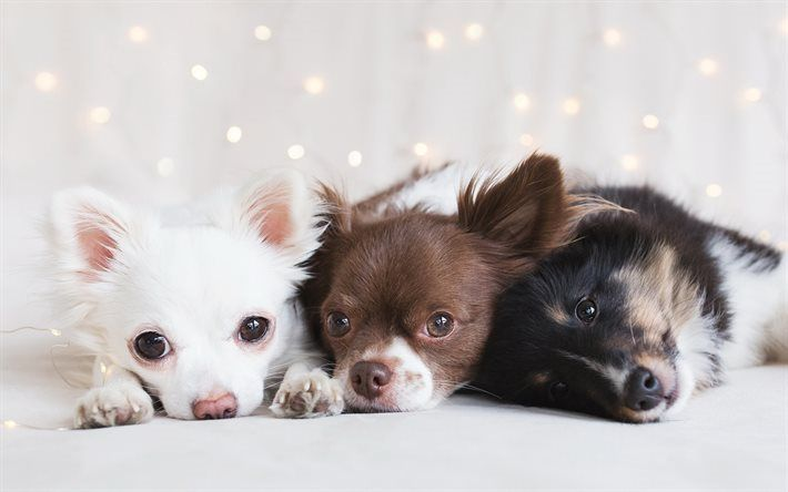 Scarica sfondi cani di piccola taglia, chihuahua, simpatici animali, cuccioli