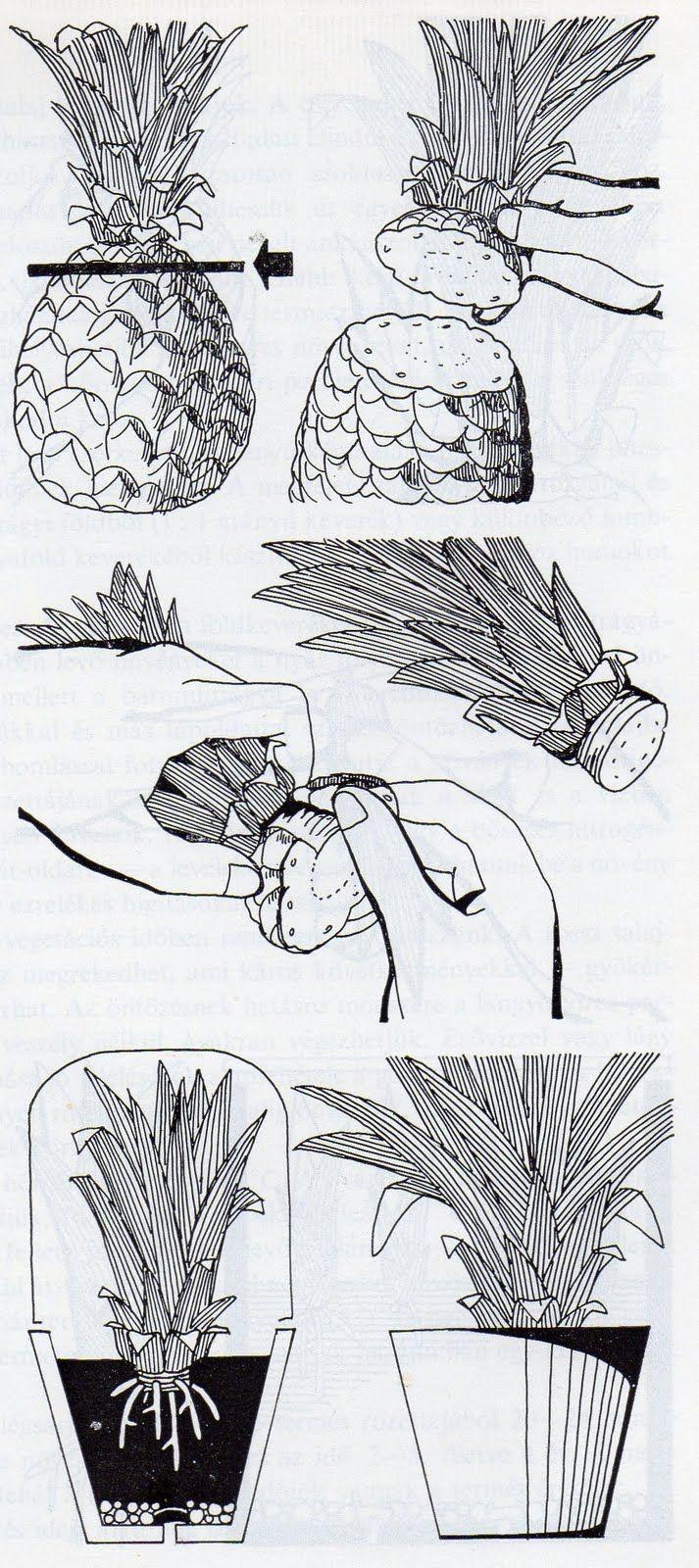 Hogyan neveljünk trópusi és mediterrán növényeket itthon?: Ananász cserépben