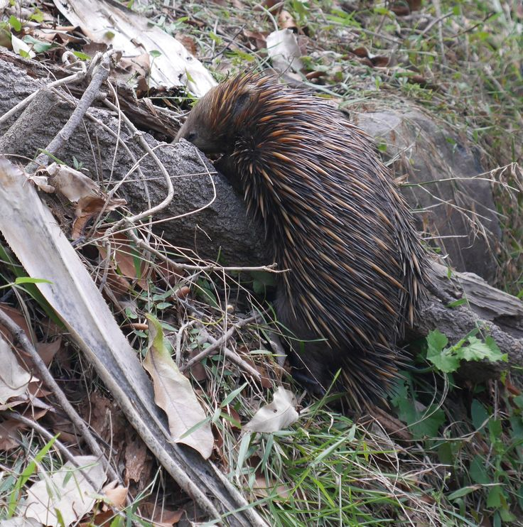 Meeting the locals - an Echidna crossing the track in Noosa National Park