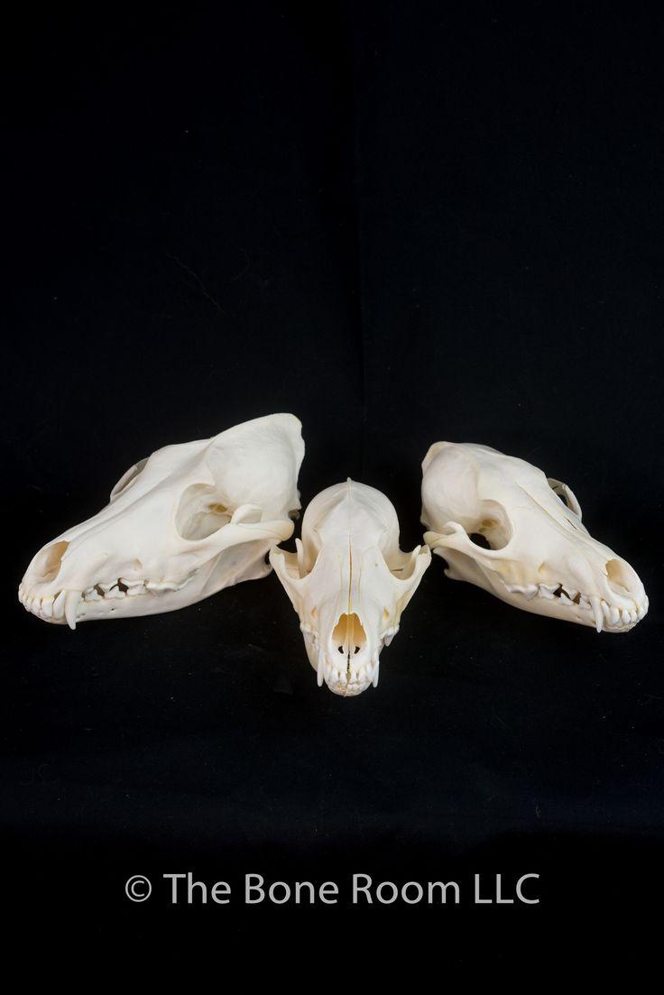 Coyote skull, skull, mammal skull, carnivore skull, coyote