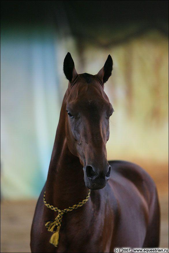 26.10.2011 в 12:28Пишет piulya: Ахалтекинская лошадь, или ахалтекинец [изображение]Ещё одно умное и гордое существо. По-туркм. - Ahal-teke a...