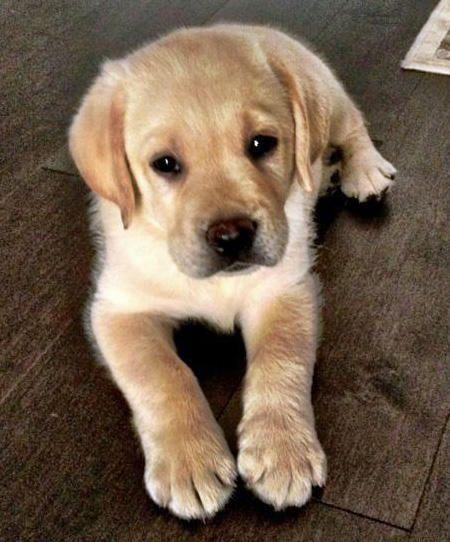 Otto the Labrador Retriever
