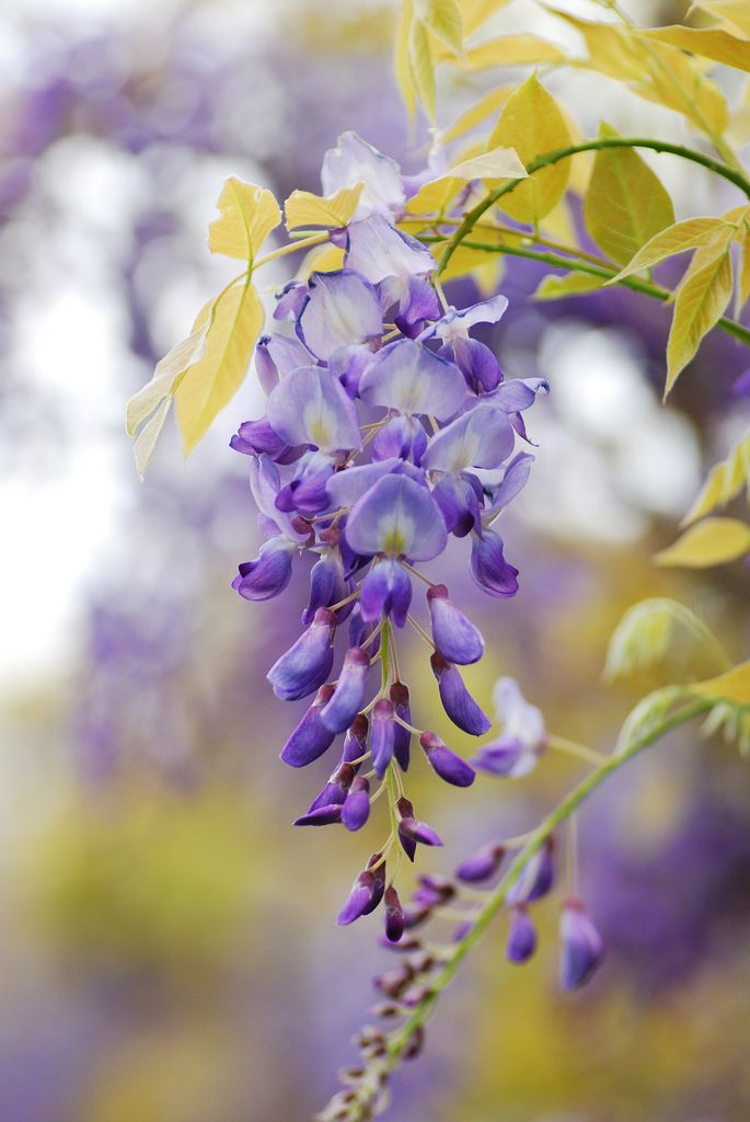 Best 579 Wisteria Images On Pinterest Nature Gardening