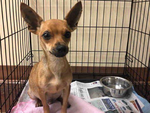 Texas City Tx Chihuahua Meet Lobo A Dog For Adoption