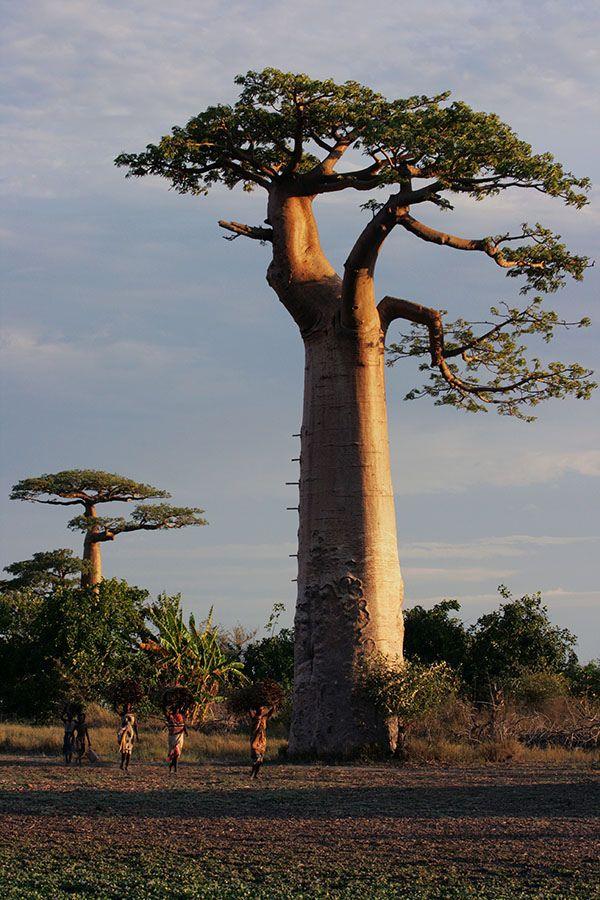 https://flic.kr/p/4bozg7   Adansonia Grandidieri (Giant Baobab), Morondava   Sold via Getty Images Customer: Polpharma Biuro Hand lowe Sp. z, Poland
