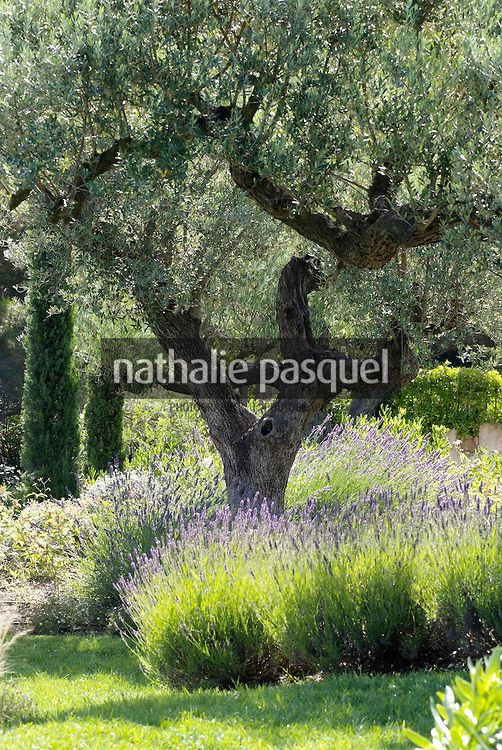 Olea europaea (olivier). Jardin mediterraneen. Paysagiste : Fanny Chaboud, Jean-Marc Pupetto. Conception ETS Derbez, France
