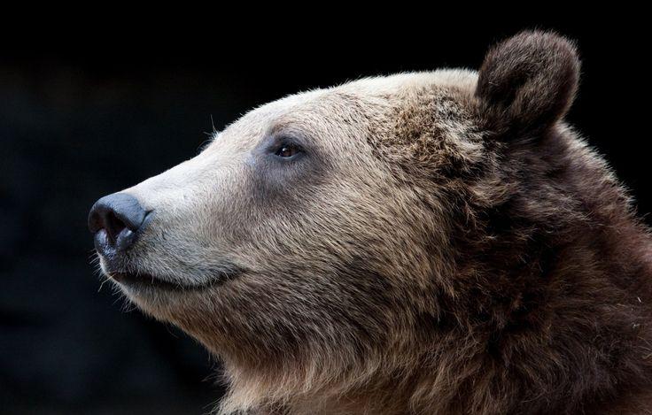 Медведи Бурые Медведи Голова Животные