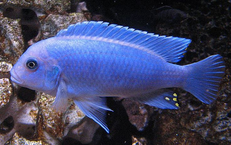 1000+ images about African Cichlids on Pinterest Peacocks, Lakes and ...