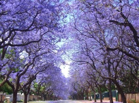 Jacaranda Trees Blooming in Spring  - Pretoria, South Africa
