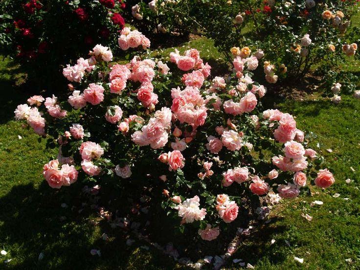 les 25 meilleures id es de la cat gorie vari t s de roses sur pinterest planter des roses. Black Bedroom Furniture Sets. Home Design Ideas