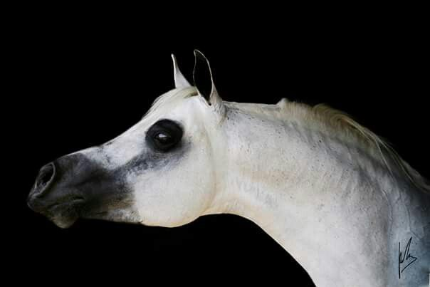 Gabiro. Beautiful horse...HATE the shaved eye area!!