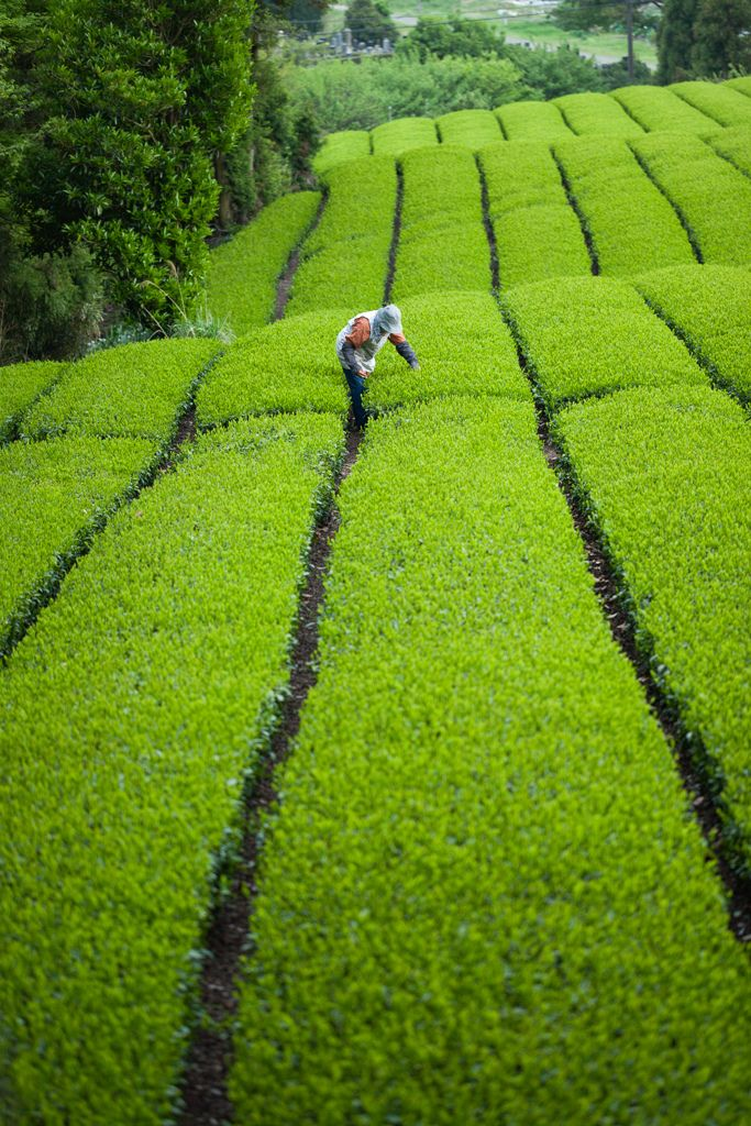 Green tea plantation, Jissou-ji Temple, Shizuoka, Japan
