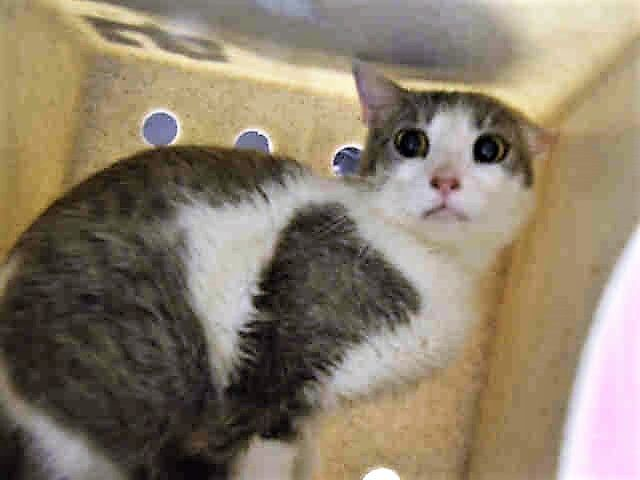 BOARDWALK - A1114134 - - Staten Island  *** TO BE DESTROYED 06/10/17 *** Boardwalk came to us as a stray and is quite nervous here. She is not lunging at staff however she is tense in the environment and does need experienced cat person to work with her. She has a cat cold and on treatment. -  Click for info & Current Status: http://nyccats.urgentpodr.org/boardwalk-a1114134/