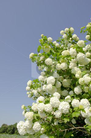 viburnum; I used to call it a snowball bush