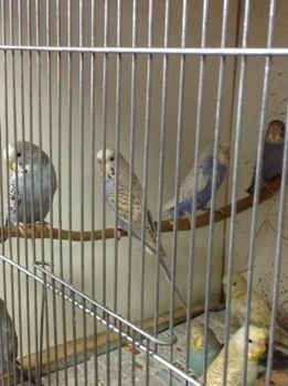 Lots of beautiful baby #budgies ,many colors to choose from, $35 each.