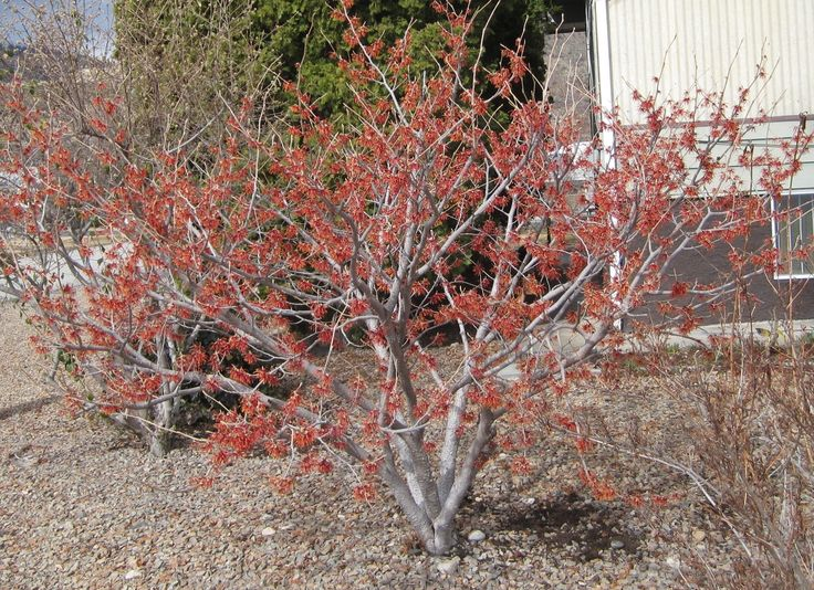 red witch hazel - Google Search