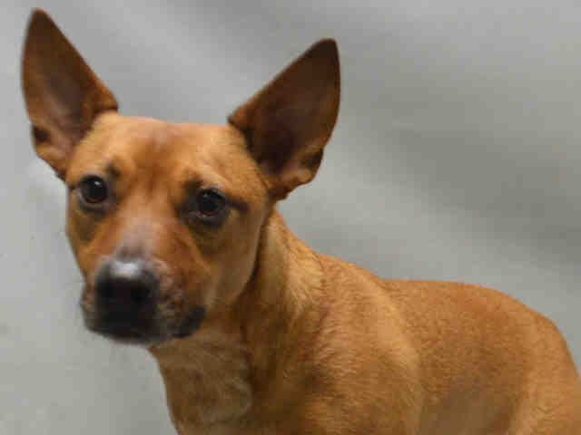 PACO - A1095727 - - Brooklyn  Please Share:TO BE DESTROYED 11/17/16 **ON PUBLIC LIST** -  Click for info & Current Status: http://nycdogs.urgentpodr.org/paco-a1095727/