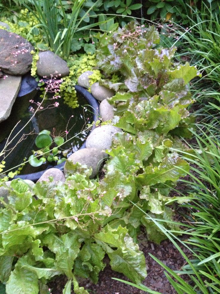 Red Sails leaf lettuce- grown around border of pond- north side of house. Did well.